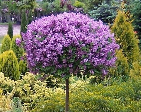 syringa meyeri 39 palibin 39 tree plant in pot 120 cm tall. Black Bedroom Furniture Sets. Home Design Ideas