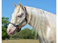 Fabulous Quarter Horse Gelding