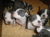 Staffordshire Terrier Pups for Sale