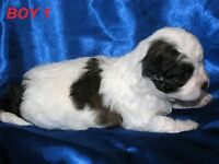 Beautiful Shih Tzu/Toy Poodle X puppies