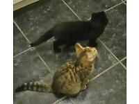 Two Kittens to good home