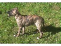 KC reg Whippet Pups. South Wales