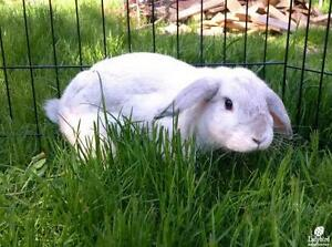 "Young Female Rabbit - Lop Eared: ""Clover"""