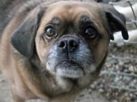 "Senior Male Dog - Pug: ""Huckleberry"""