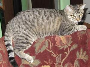 "Young Male Cat - Tabby - Grey: ""Clifford Caleb"""