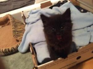 """Baby Male Cat - Domestic Long Hair: """"Easton"""""""