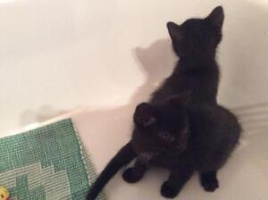 """Baby Male Cat - Domestic Short Hair: """"Billy et Joey"""""""
