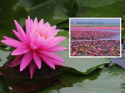2 rosa Seerosen Rosenymphe Schwimmpflanzen Pflanzen für den Teich Teichpflanzen