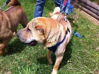 "Adult Male Dog - Shar Pei: ""JoJo - Courtesy"""