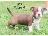 French bull dog x chi puppies Ready now