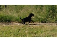 Rottweiller puppies, gorgeous chunky males and females