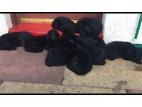 Beautiful flat coat retriever puppies for sale