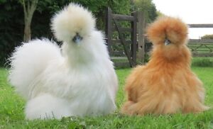 Pair of White, Blue or Spotted Silkies