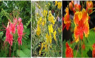 15 Seeds Caesalpinia Pulcherrima Sw Mixed Yellow Pink Orange From Thailand