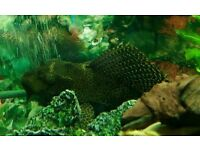 Plecostomus, various sizes and colours