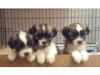Crested-tzu puppys
