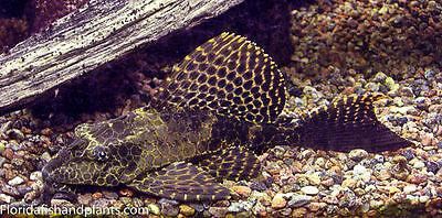 (1) Pterygoplichthys Gibbiceps Sailfin Plecostomus Pleco 1.5 inch GUARANTEED