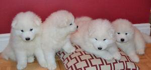 Female Samoyed Puppy for Sale
