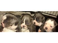 Olde english bulldog puppies