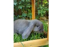 Gorgeous Baby Blue & Harlequin Lop Rabbits (2x Bucks & 2x Does)