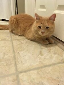 Found Cat - Orange (longer haired)