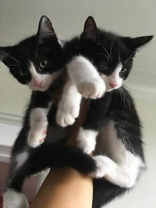 RESPONSIBLE ADOPTION: SWEET TUXEDO KITTENS