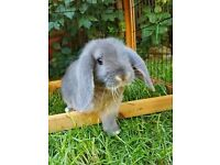 Gorgeous Baby Blue & Harlequin Lop Rabbits. Two Bucks & Two Does