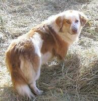 "Young Male Dog - Corgi-Australian Shepherd: ""RUDY"""