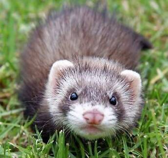 Wanted: Looking for male Ferret