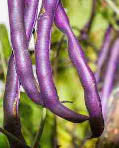 Heirloom Beans/Vegetable Seeds - Canada