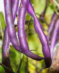 Graines de haricots Heirloom - Rainbow Seeds Canada