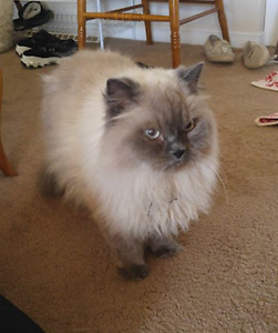FOUND Himalayan type - RICE LAKE AREA - Hwy 28  - July 11