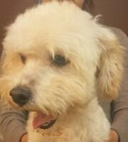 "Adult Male Dog - Maltese-Poodle: ""Rudy"""
