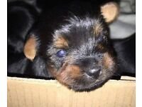 For Sale - Yorkshire Terrier Puppies