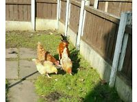 Chickens/Hens for sale