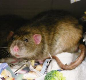 "Young Male Small & Furry - Rat: ""Gerald"""