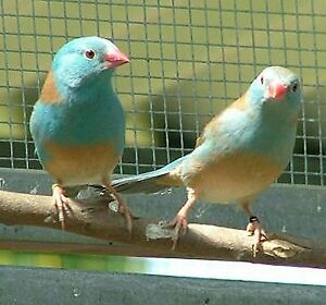 Looking for a Female Blue Capped Cordon Blue (bleu)
