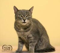 "Adult Male Cat - Domestic Short Hair-gray: ""Saturn"""