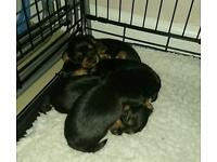 Small breed blue and silver yorkshire terrier puppy's