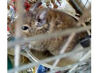 2 Adult Male Degus + Cage (£100+ worth)