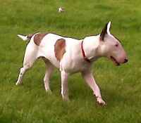 English Bull Terrier-Don Cherry Dogs