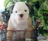 English bulldog 1700$ / Bulldog anglais 1700$