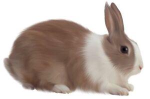 dwarf rabbit for sale Peterborough Peterborough Area image 1