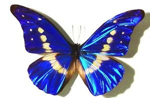 Morpho Rhetenor Helena butterfly from Peru real