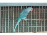 Baby beautiful alexandrine talking parrot