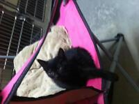 """Adult Male Cat - Domestic Short Hair: """"taboo"""""""