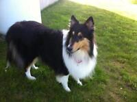 "Adult Female Dog - Collie: ""Chloe"""