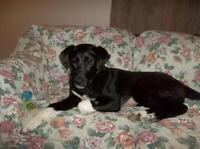 "Young Female Dog - Labrador Retriever: ""Ellie"""
