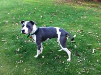"Young Female Dog - Pit Bull Terrier: ""Zipper"""