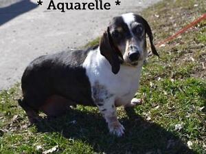 "Senior Female Dog - Dachshund: ""Aquarelle"""